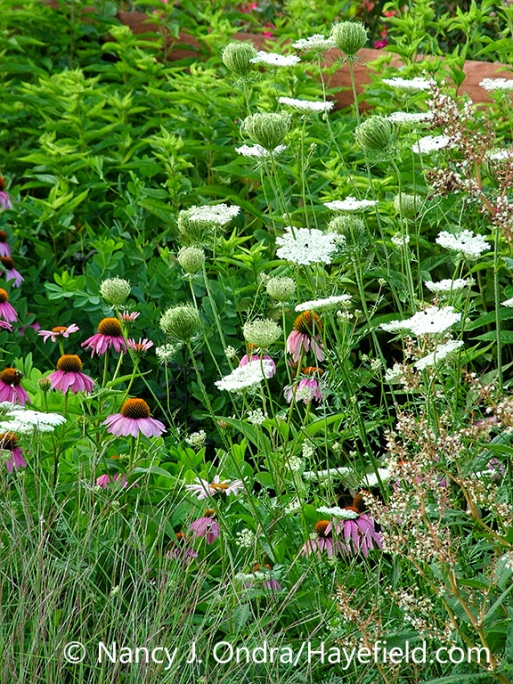 The white flowers of Queen Anne's lace (Daucus carota var. carota) in a garden combination with purple coneflower (Echinacea purpurea) and little bluestem (Schizachyrium scoparium) [Nancy J. Ondra/nancyjondra.com]