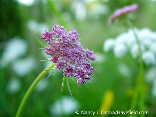 A natural pink-flowered variant of Queen Anne's lace (Daucus carota var. carota) [Nancy J. Ondra/nancyjondra.com]