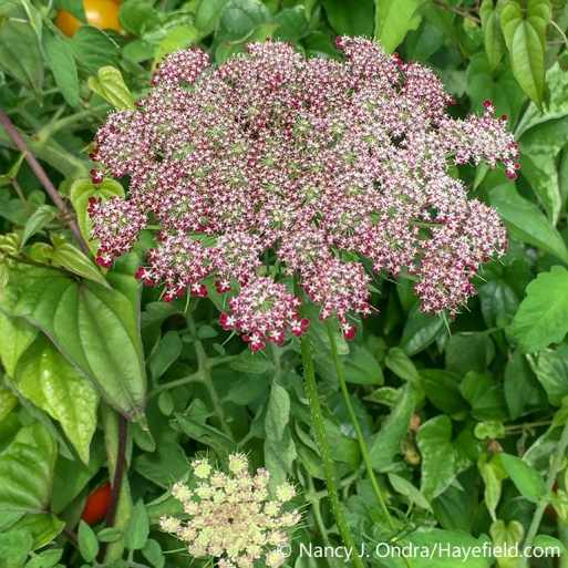 'Purple Kisses' Queen Anne's lace (Daucus carota var. carota), a seed strain that flowers in a range of colors from white to pink to deep red or purple [Nancy J. Ondra/nancyjondra.com]