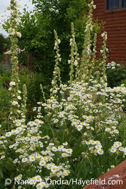 The flowers of tall fleabane (Erigeron annuus), also known as annual fleabane, with 'Governor George Aiken' mullein (Verbascum) [Nancy J. Ondra/nancyjondra.com]