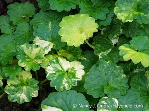 Closeup of the variegated foliage (leaves) of 'Burns' Splashed' creeping Charlie (Glechoma hederacea) [Nancy J. Ondra/nancyjondra.com]