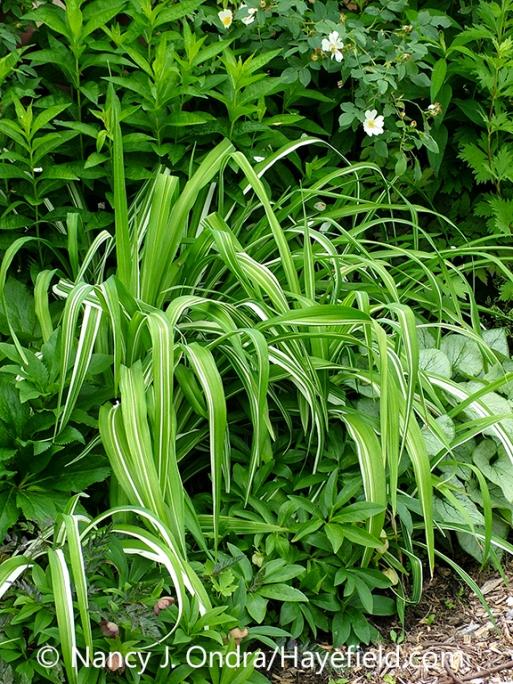 Variegated tawny daylily (Hemerocallis fulva 'Kwanso Variegata', also known as 'Kwanso Variegated' or 'Variegated Kwanso') in a garden setting [Nancy J. Ondra/nancyjondra.com]