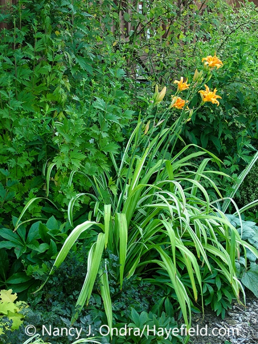 Variegated tawny daylily (Hemerocallis fulva 'Kwanso Variegata', also known as 'Kwanso Variegated' or 'Variegated Kwanso') in flower in a garden setting [Nancy J. Ondra/nancyjondra.com]