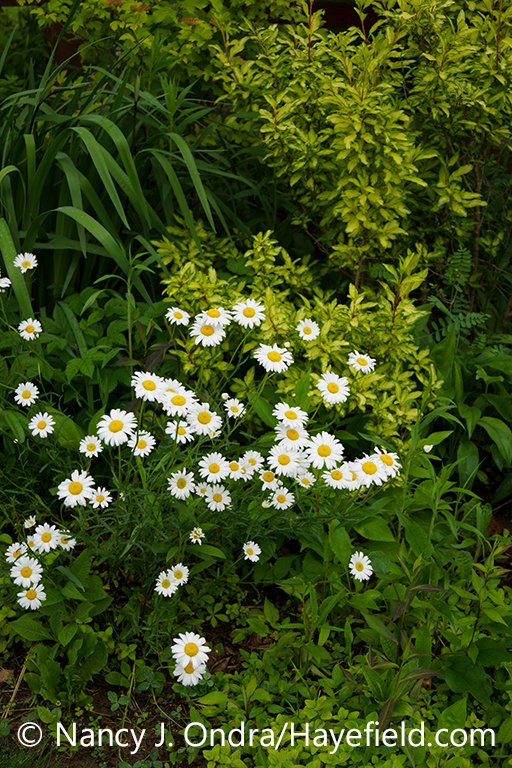 Oxeye daisy (Leucanthemum vulgare, also known as Chrysanthemum leucanthemum), in flower (bloom) in a garden setting with yellow-variegated 'Fiesta' forsythia (Forsythia) [Nancy J. Ondra/nancyjondra.com]