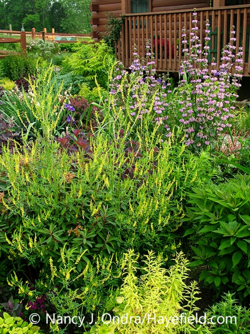 Yellow sweet clover (Melilotus officinalis) and pink-flowered tuberous-rooted Jerusalem sage (Phlomis tuberosa 'Amazone') in combination with other plants in a garden setting