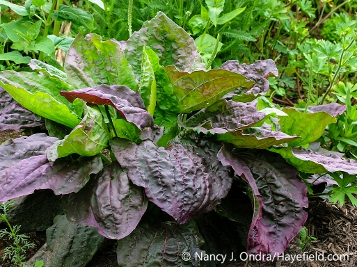 Side view of a plant of purple-leaved broadleaf plantain (Plantago major 'Atropurpurea') [Nancy J. Ondra/nancyjondra.com]