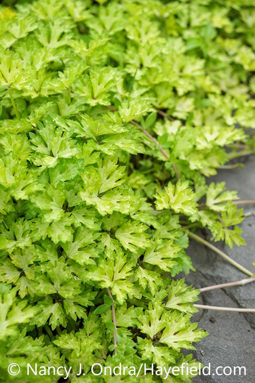 The foliage (leaves) and growth habit of 'Buttered Popcorn' creeping buttercup (Ranculus repens) [Nancy J. Ondra/nancyjondra.com]