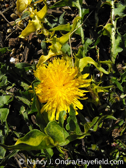 A plant of variegated dandelion (Taraxacum officinale 'White Flash' or 'Variegated'), showing the yellow-splashed foliage (leaves) and yellow flower [Nancy J. Ondra/nancyjondra.com]