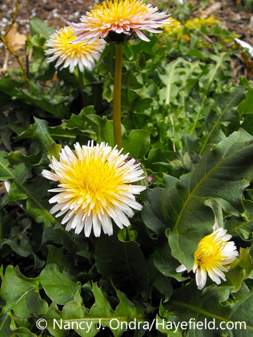 A plant of pink dandelion (Taraxacum pseudoroseum), showing the leaves and flowers [Nancy J. Ondra/nancyjondra.com]
