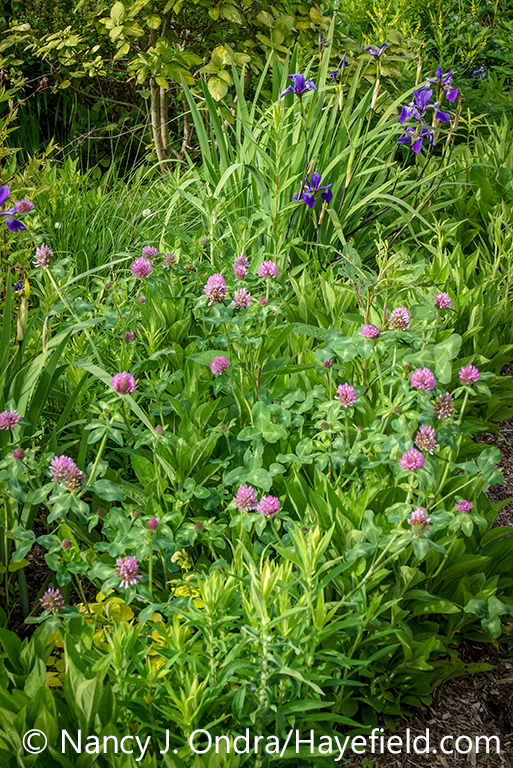 Red clover (Trifolium pratense) in a mixed border with 'Gerald Darby' iris (Iris x robusta) [Nancy J. Ondra/nancyjondra.com]
