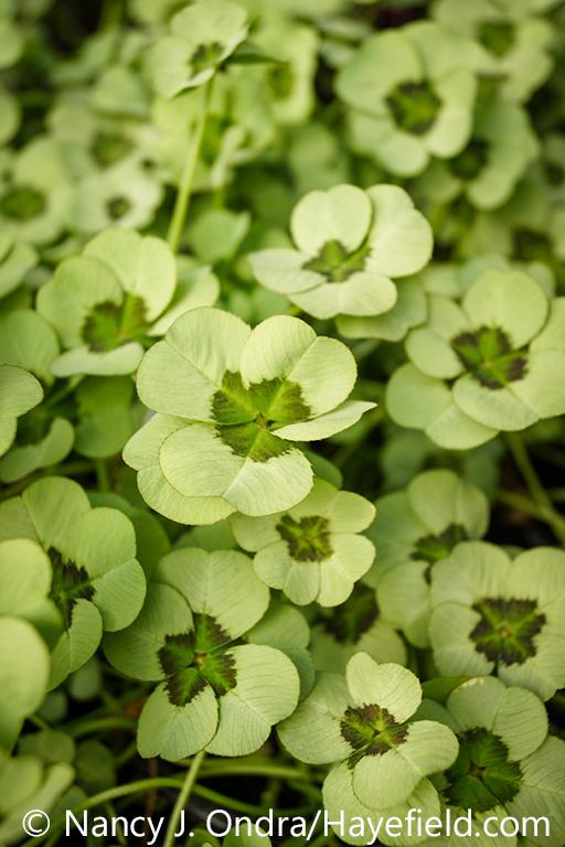 The silver-gray-and-green foliage (leaves) of '4 Luck Green Glow' ornamental clover (Trifolium repens) [Nancy J. Ondra/nancyjondra.com]