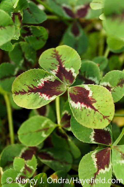 Closeup of the red foliage (leaves) of 'Limerick Jessica' ornamental clover ( Trifolium repens) [Nancy J. Ondra/nancyjondra.com]