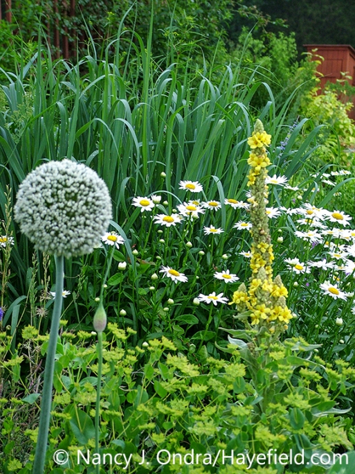 Common mullein (Verbascum thapsus) and leek (Allium ampeloprasum) in flower with hare's ear (Bupleurum rotundifolium), 'Becky' Shasta daisy (Leucanthemum x superbum), and 'Dallas Blues' switch grass (Panicum virgatum) [Nancy J. Ondra/nancyjondra.com]