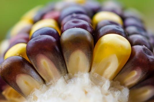 'Indian Berries' Popcorn (Zea mays)