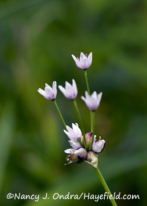 Allium canadense [Nancy J. Ondra/Hayefield.com]