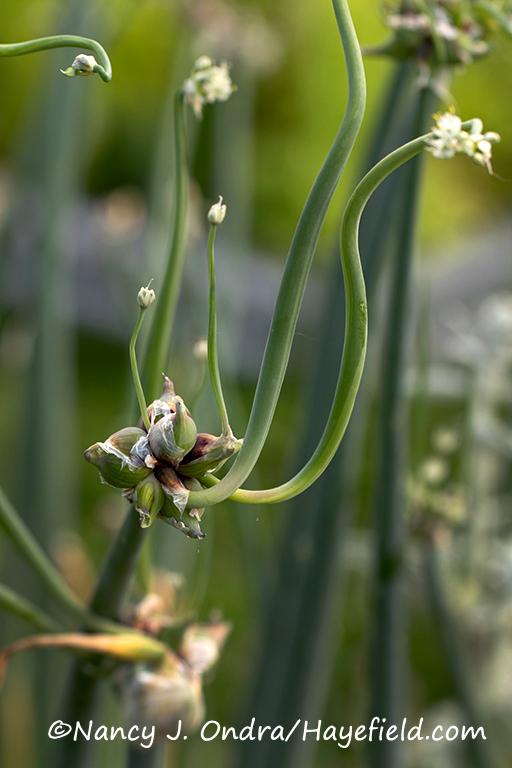 Allium x proliferum [©Nancy J. Ondra/Hayefield.com]