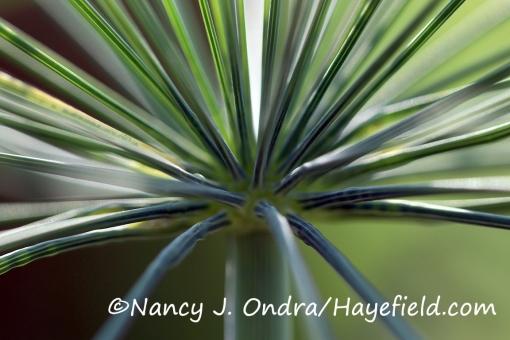 Anethum graveolens [©Nancy J. Ondra/Hayefield.com]