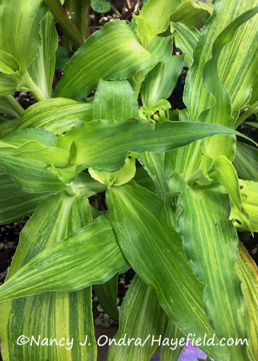Commelina tuberosa Coelestis Group 'Hopleys Variegated' [©Nancy J. Ondra/Hayefield.com]