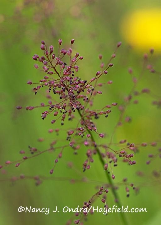 Eragrostis spectabilis [©Nancy J. Ondra/Hayefield.com]