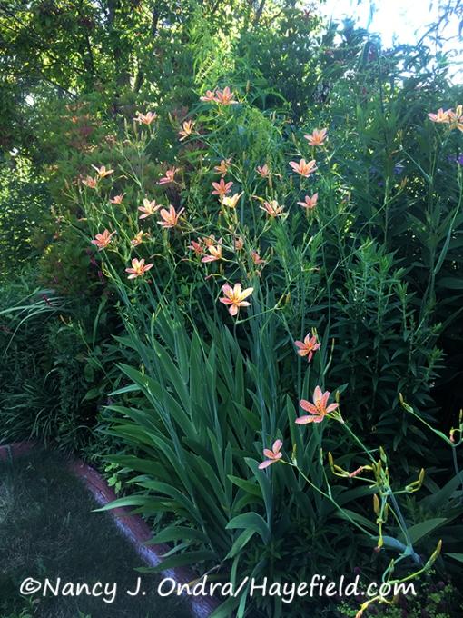 Iris domestica (Belamcanda chinensis) [©Nancy J. Ondra/Hayefield.com]