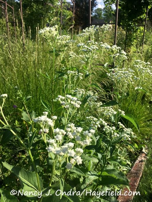 Parthenium integrifolium [Nancy J. Ondra/Hayefield.com]