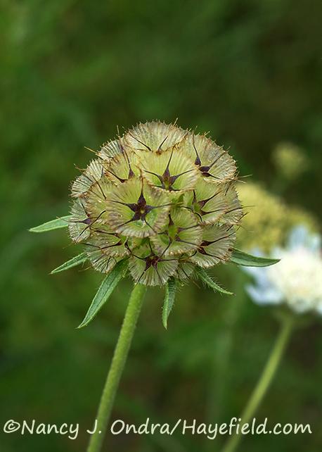 Scabiosa stellata [©Nancy J. Ondra/Hayefield.com]
