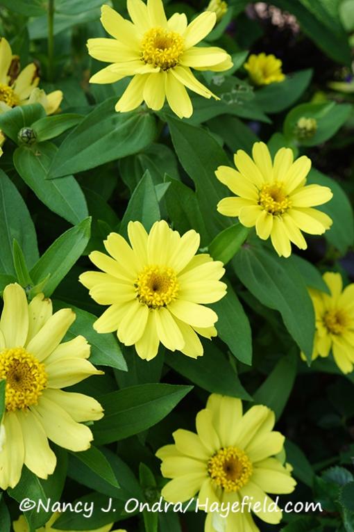 Zinnia 'Profusion Yellow' [©Nancy J. Ondra/Hayefield.com]