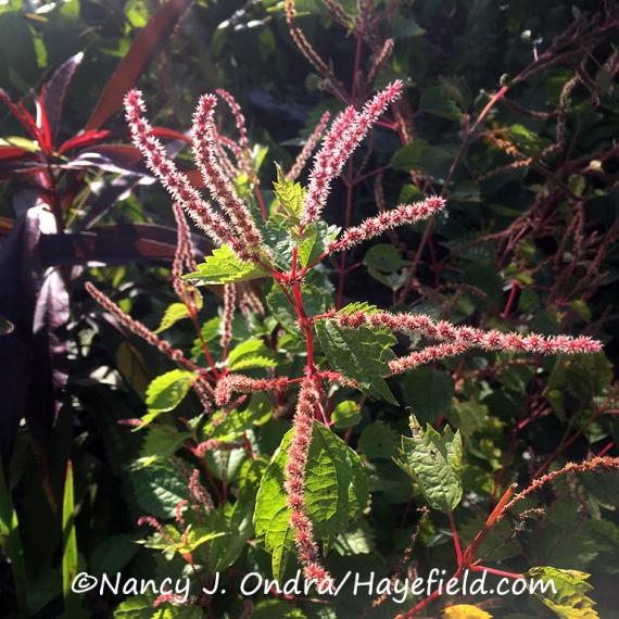 Boehmeria trisuspis [©Nancy J. Ondra/Hayefield.com]
