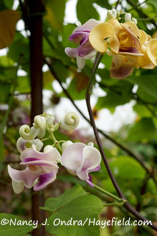 Corkscrew vine (Cochliasanthus [Vigna] caracalla} [©Nancy J. Ondra/Hayefield.com]