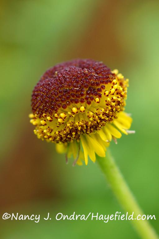 Rosilla (Helenium puberulum) [©Nancy J. Ondra/Hayefield.com]
