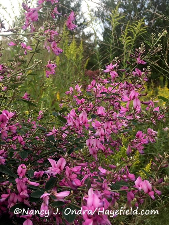 Japanese bush clover (Lespedeza thunbergii) [©Nancy J. Ondra/Hayefield.com]