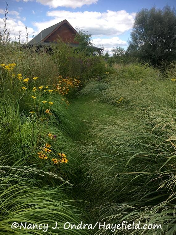 Bitter panic grass (Panicum amarum) [©Nancy J. Ondra/Hayefield.com]
