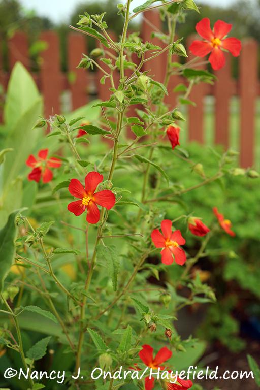 Red mallow (Pavonia missionum) [©Nancy J. Ondra/Hayefield.com]