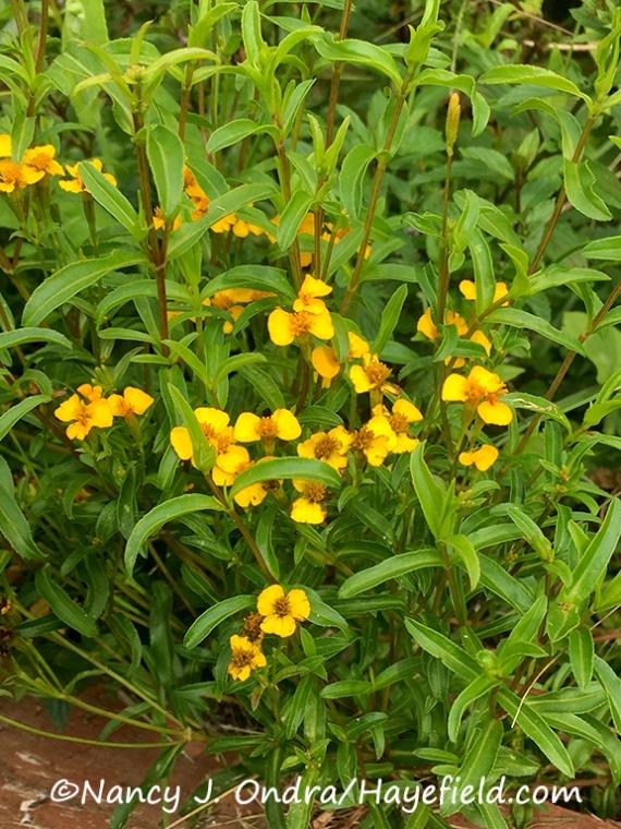 Mexican tarragon or Mexican mint marigold (Tagetes lucida) [©Nancy J. Ondra/Hayefield.com]