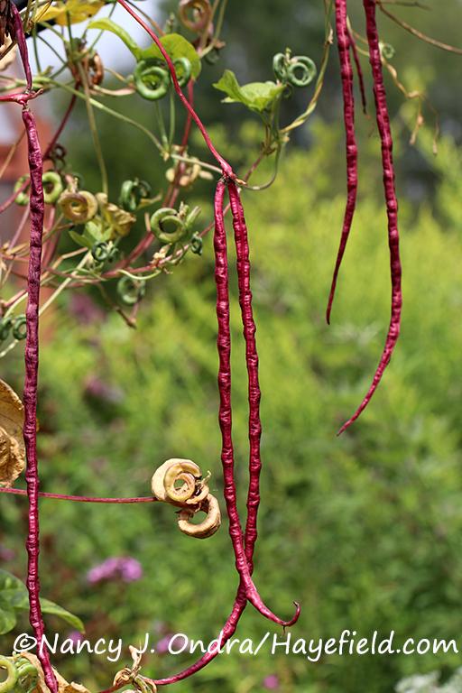 Red noodle bean (Vigna unguiculata 'Red Noodle') [©Nancy J. Ondra/Hayefield.com]
