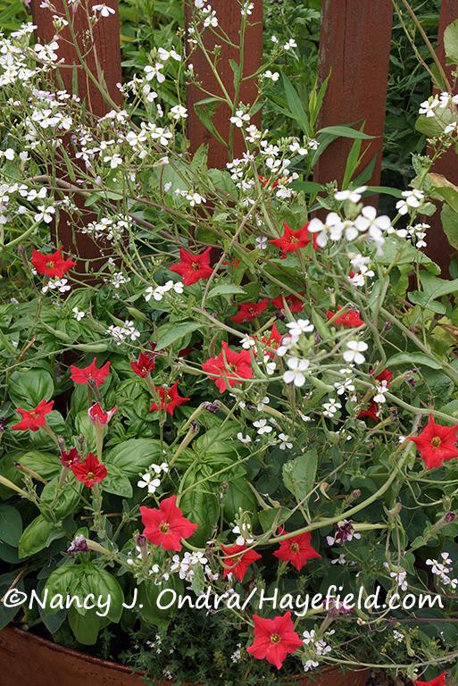 Petunia exserta [Nancy J. Ondra/Hayefield.com]