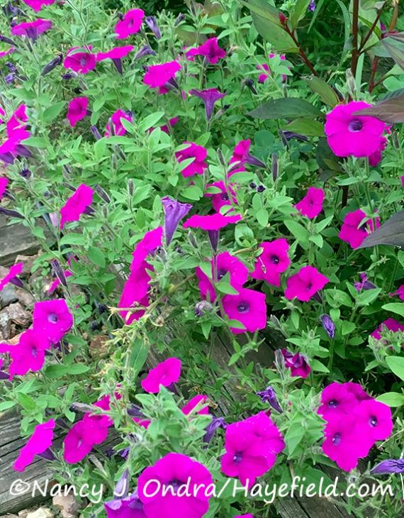 Petunia integrifolia [Nancy J. Ondra/Hayefield.com]
