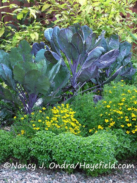 Tagetes tenuifolia 'Lemon Gem' [Nancy J. Ondra/Hayefield.com]