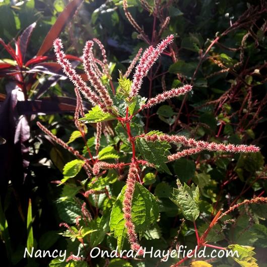 False nettle (Boehmeria tricuspis) [Nancy J. Ondra/Hayefield.com]
