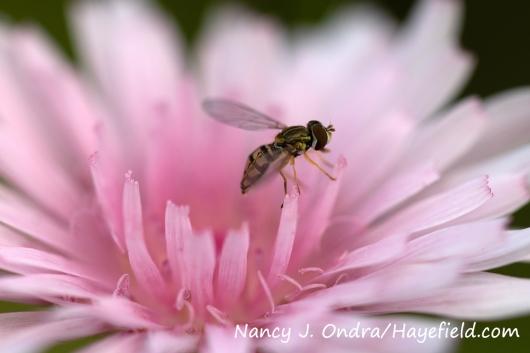 Pink hawksbeard (Crepis rubra) [Nancy J. Ondra/Hayefield.com]