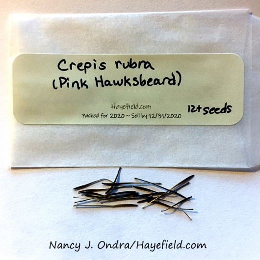 Seeds of pink hawksbeard (Crepis rubra) available at Hayefield on Etsy [Nancy J. Ondra/Hayefield.com]