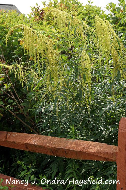 False hemp (Datisca cannabina) [Nancy J. Ondra/Hayefield.com]