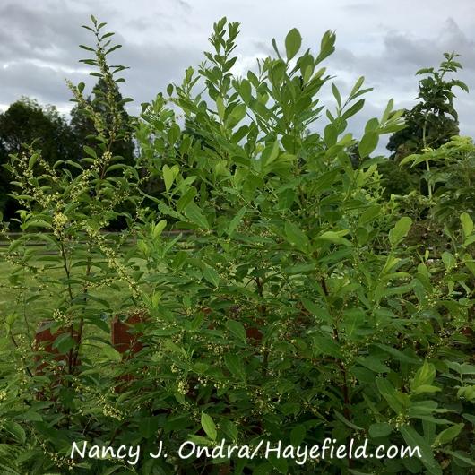 Securinega suffruticosa [Nancy J. Ondra/Hayefield.com]