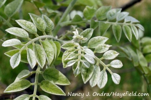 Amur maackia (Maackia amurensis) [Nancy J. Ondra/Hayefield.com]