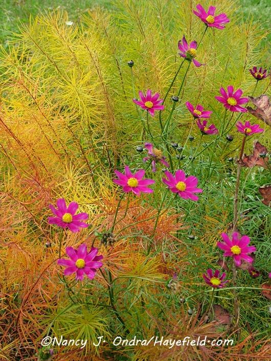 Cosmos bipinnatus [©Nancy J. Ondra/Hayefield.com]