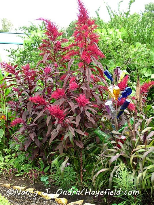 Amaranthus 'Hopi Red Dye' [©Nancy J. Ondra/Hayefield.com]