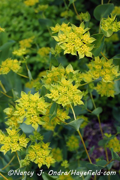 Bupleurum rotundifolium [©Nancy J. Ondra/Hayefield.com]
