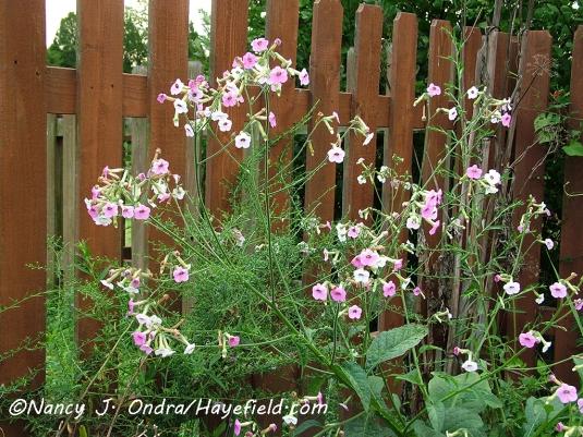 Nicotiana mutabilis [©Nancy J. Ondra/Hayefield.com]