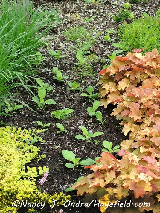 Nicotiana sylvestris seedlings [©Nancy J. Ondra/Hayefield.com]