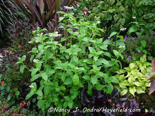 Tinantia erecta [©Nancy J. Ondra/Hayefield.com]